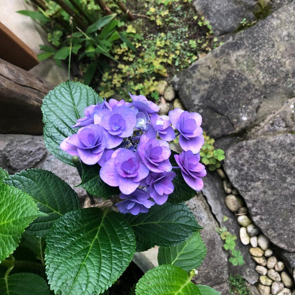 紫陽花のフェアリーアイ